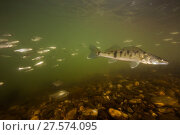 Купить «Pike-perch (Sander lucioperca)  Tarn River, France, June.», фото № 27574095, снято 25 марта 2019 г. (c) Nature Picture Library / Фотобанк Лори