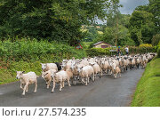 Купить «Flock of sheep walking along road, Monmouthshire, Wales, UK, July.», фото № 27574235, снято 16 августа 2018 г. (c) Nature Picture Library / Фотобанк Лори
