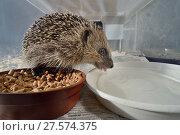 Купить «Hedgehog (Erinaceus europaeus) drinking in a home-made hedgehog feeder box with a narrow entrance designed to exclude cats and foxes, suburban garden, Chippenham, Wiltshire, UK, August.», фото № 27574375, снято 21 июля 2018 г. (c) Nature Picture Library / Фотобанк Лори