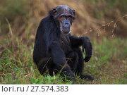 Купить «Eastern chimpanzee (Pan troglodytes schweinfurtheii) female 'Sparrow' aged 54 years portrait . Gombe National Park, Tanzania.», фото № 27574383, снято 20 января 2020 г. (c) Nature Picture Library / Фотобанк Лори
