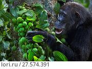 Eastern chimpanzee (Pan troglodytes schweinfurtheii) female 'Gremlin' aged 42 years feeding on figs . Gombe National Park, Tanzania. Стоковое фото, фотограф Anup Shah / Nature Picture Library / Фотобанк Лори