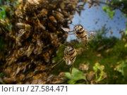 Купить «Honey bee (Apis mellifera) swarm. Kiel Germany, June», фото № 27584471, снято 22 июля 2018 г. (c) Nature Picture Library / Фотобанк Лори
