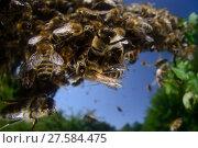 Купить «Honey bee (Apis mellifera) swarm. Kiel Germany, June», фото № 27584475, снято 22 июля 2018 г. (c) Nature Picture Library / Фотобанк Лори