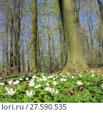Купить «forest with wood anemone», фото № 27590535, снято 25 марта 2019 г. (c) PantherMedia / Фотобанк Лори