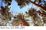 Купить «Panoramic view on the tops of snow-covered fir trees in the forest», видеоролик № 27591291, снято 7 февраля 2018 г. (c) Aleksandr Lutcenko / Фотобанк Лори