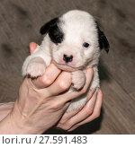 Купить «Very cute white-black puppies. Beautiful puppies. little puppies.», фото № 27591483, снято 4 февраля 2018 г. (c) Elina Chernikova / Фотобанк Лори