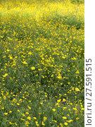Купить «buttercup meadow», фото № 27591515, снято 20 марта 2019 г. (c) PantherMedia / Фотобанк Лори
