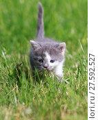 Купить «brown and white  cat playing on the lawn», фото № 27592527, снято 18 февраля 2019 г. (c) PantherMedia / Фотобанк Лори
