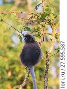 Купить «Dusky Langur sitting on tree branch», фото № 27595587, снято 22 марта 2019 г. (c) PantherMedia / Фотобанк Лори