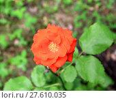 Купить «Red rose», фото № 27610035, снято 24 октября 2018 г. (c) PantherMedia / Фотобанк Лори