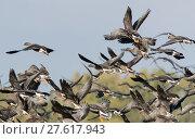 Купить «germany,traveufer near lübeck-israelsdorf - graugänse in the swarm in the nature reserve schellbruch», фото № 27617943, снято 15 октября 2018 г. (c) PantherMedia / Фотобанк Лори