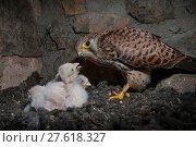 Купить «Female Kestrel (Falco tunninculus) feeding chicks in nest, France, May.», фото № 27618327, снято 18 июля 2018 г. (c) Nature Picture Library / Фотобанк Лори