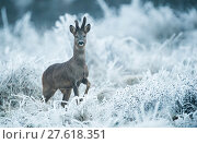 Купить «Male Roe deer (Capreolus capreolus) alert in frosty vegetation, France, December.», фото № 27618351, снято 19 октября 2018 г. (c) Nature Picture Library / Фотобанк Лори