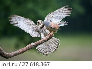 Купить «Male Kestrel (Falco tunninculus) giving prey to female near nest, France, June.», фото № 27618367, снято 18 июля 2018 г. (c) Nature Picture Library / Фотобанк Лори