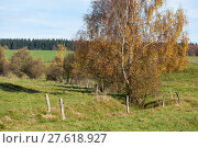 Купить «Birke im Herbst», фото № 27618927, снято 23 июля 2019 г. (c) PantherMedia / Фотобанк Лори