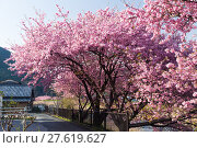 Купить «Beautiful sakura tree», фото № 27619627, снято 23 апреля 2018 г. (c) PantherMedia / Фотобанк Лори