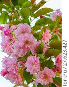 Купить «sakura blossoms closeup», фото № 27623427, снято 23 апреля 2018 г. (c) PantherMedia / Фотобанк Лори
