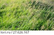 Купить «wild grass waving in strong wind in summer», видеоролик № 27626167, снято 13 июня 2017 г. (c) Володина Ольга / Фотобанк Лори