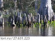Купить «usa florida swamp am wasser», фото № 27631223, снято 22 июля 2019 г. (c) PantherMedia / Фотобанк Лори