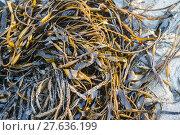 Купить «Laminaria (Kelp) Seaweed on sea sand», фото № 27636199, снято 19 февраля 2018 г. (c) PantherMedia / Фотобанк Лори