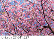 Купить «Sakura», фото № 27641227, снято 23 апреля 2018 г. (c) PantherMedia / Фотобанк Лори