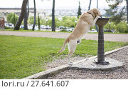 Купить «Labrador dog drinking water from the fountain», фото № 27641607, снято 22 мая 2019 г. (c) PantherMedia / Фотобанк Лори