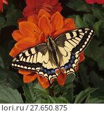 Купить «Schwalbenschwanz, Tagfalter, Papilio machaon, Old World Swallowtail, auf roter Dahlienblüte», фото № 27650875, снято 23 января 2019 г. (c) PantherMedia / Фотобанк Лори