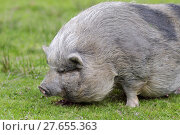 Купить «Minipig on grass», фото № 27655363, снято 25 мая 2019 г. (c) PantherMedia / Фотобанк Лори