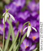 Купить «Snowdrop bloom in springtime», фото № 27659627, снято 26 мая 2019 г. (c) PantherMedia / Фотобанк Лори