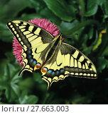 Купить «Schwalbenschwanz, Papilio machaon, Old World swallowtail, Tagfalter auf rosa Blüte», фото № 27663003, снято 23 января 2019 г. (c) PantherMedia / Фотобанк Лори