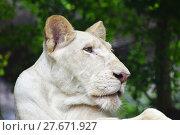 Купить «Young white lioness profile in zoo close up», фото № 27671927, снято 20 июля 2019 г. (c) PantherMedia / Фотобанк Лори