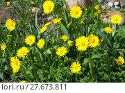 Купить «Дороникум (лат. Doronicum) цветет в саду», эксклюзивное фото № 27673811, снято 26 мая 2017 г. (c) Елена Коромыслова / Фотобанк Лори