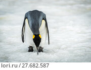Купить «King penguin bending to peck at ice», фото № 27682587, снято 27 мая 2018 г. (c) PantherMedia / Фотобанк Лори