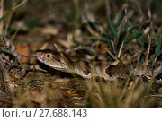 Купить «Copperhead Snake Forked Tongue Poison Pit Viper», фото № 27688143, снято 18 января 2019 г. (c) PantherMedia / Фотобанк Лори