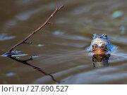 Купить «Moor frogs on the lake », фото № 27690527, снято 22 июля 2019 г. (c) PantherMedia / Фотобанк Лори