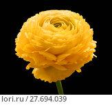 Купить «buttercup flower head», фото № 27694039, снято 20 марта 2019 г. (c) PantherMedia / Фотобанк Лори