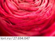 Купить «buttercup flower detail», фото № 27694047, снято 20 марта 2019 г. (c) PantherMedia / Фотобанк Лори