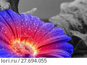 Купить «wet gradient gerbera flower closeup», фото № 27694055, снято 20 марта 2019 г. (c) PantherMedia / Фотобанк Лори