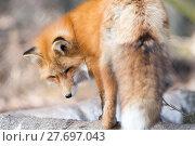 Купить «glorious fox», фото № 27697043, снято 22 марта 2019 г. (c) PantherMedia / Фотобанк Лори