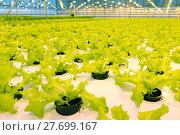 Купить «Growing cucumbers in a greenhouse», фото № 27699167, снято 5 февраля 2018 г. (c) Андрей Шалари / Фотобанк Лори