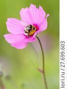 Купить «bumblebee bidens formos bombus magnus», фото № 27699603, снято 27 марта 2019 г. (c) PantherMedia / Фотобанк Лори