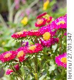 Купить «Aster flower in garden», фото № 27701347, снято 15 августа 2018 г. (c) PantherMedia / Фотобанк Лори