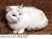 Купить «White Cat sitaing  in the basket», фото № 27704927, снято 18 февраля 2019 г. (c) PantherMedia / Фотобанк Лори