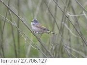 Купить «Small Whitethroat Bird», фото № 27706127, снято 16 июля 2019 г. (c) PantherMedia / Фотобанк Лори