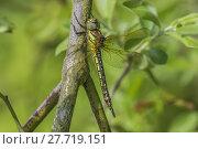 Купить «Female Hairy Dragonfly», фото № 27719151, снято 16 июля 2019 г. (c) PantherMedia / Фотобанк Лори