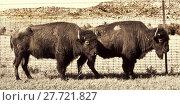 Купить «Buffalo of Oklahoma.», фото № 27721827, снято 19 июня 2018 г. (c) PantherMedia / Фотобанк Лори