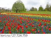 Купить «tulips splendor», фото № 27724759, снято 18 января 2019 г. (c) PantherMedia / Фотобанк Лори