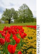 Купить «tulips splendor», фото № 27724767, снято 18 января 2019 г. (c) PantherMedia / Фотобанк Лори