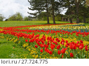 Купить «tulips splendor», фото № 27724775, снято 18 января 2019 г. (c) PantherMedia / Фотобанк Лори