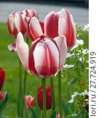 Купить «tulips», фото № 27724919, снято 15 августа 2018 г. (c) PantherMedia / Фотобанк Лори